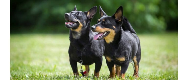 Two Lancashire Heelers, side-by-side
