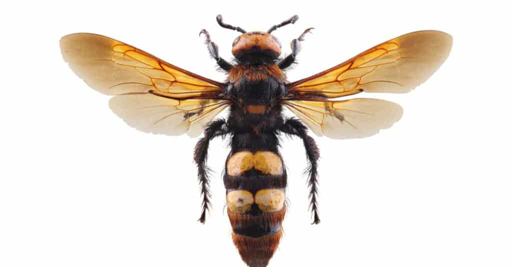 Largest Wasps - Mammoth Wasp