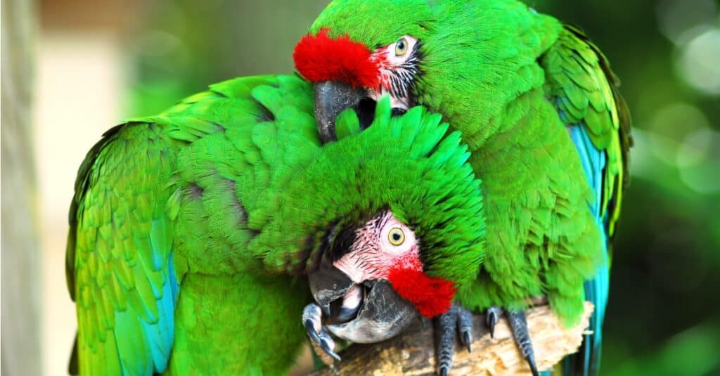 Largest Parrots - Military Macaw