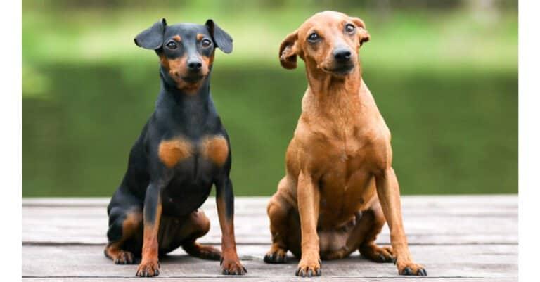 Miniature pincher - pups sitting together