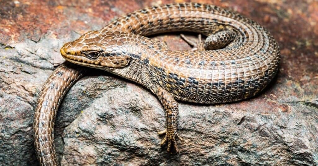 Northern Alligator Lizard suns on a rock in early spring.