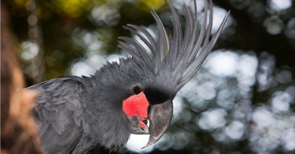 Largest Parrots - Palm Cockatoo