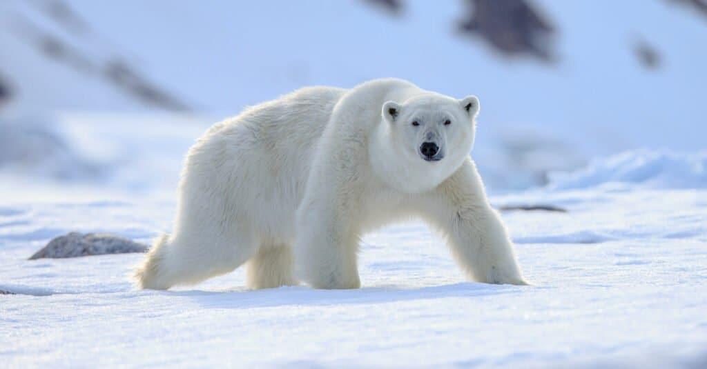 12 Animals of Christmas From Around the World - polar bear