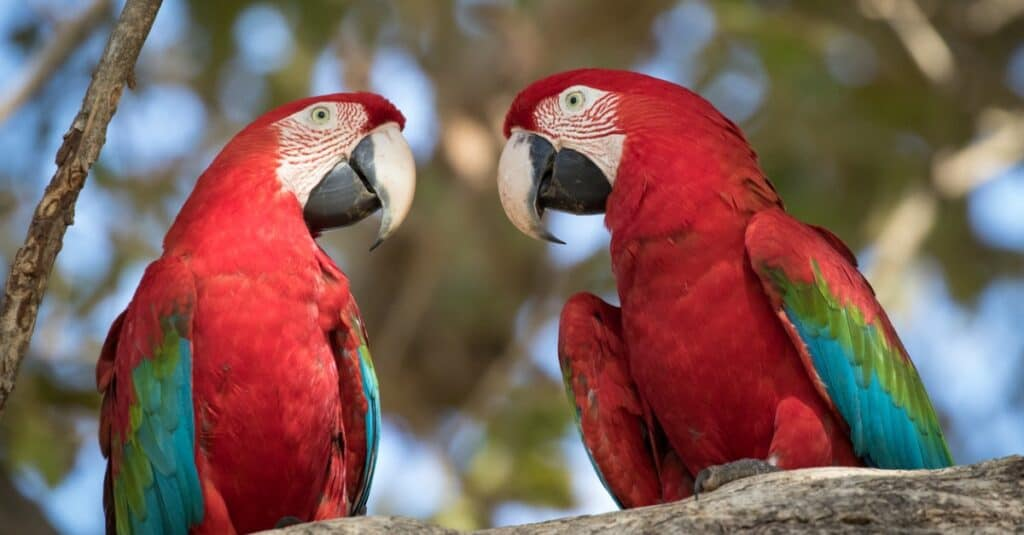 Largest parrots - red and green macaw