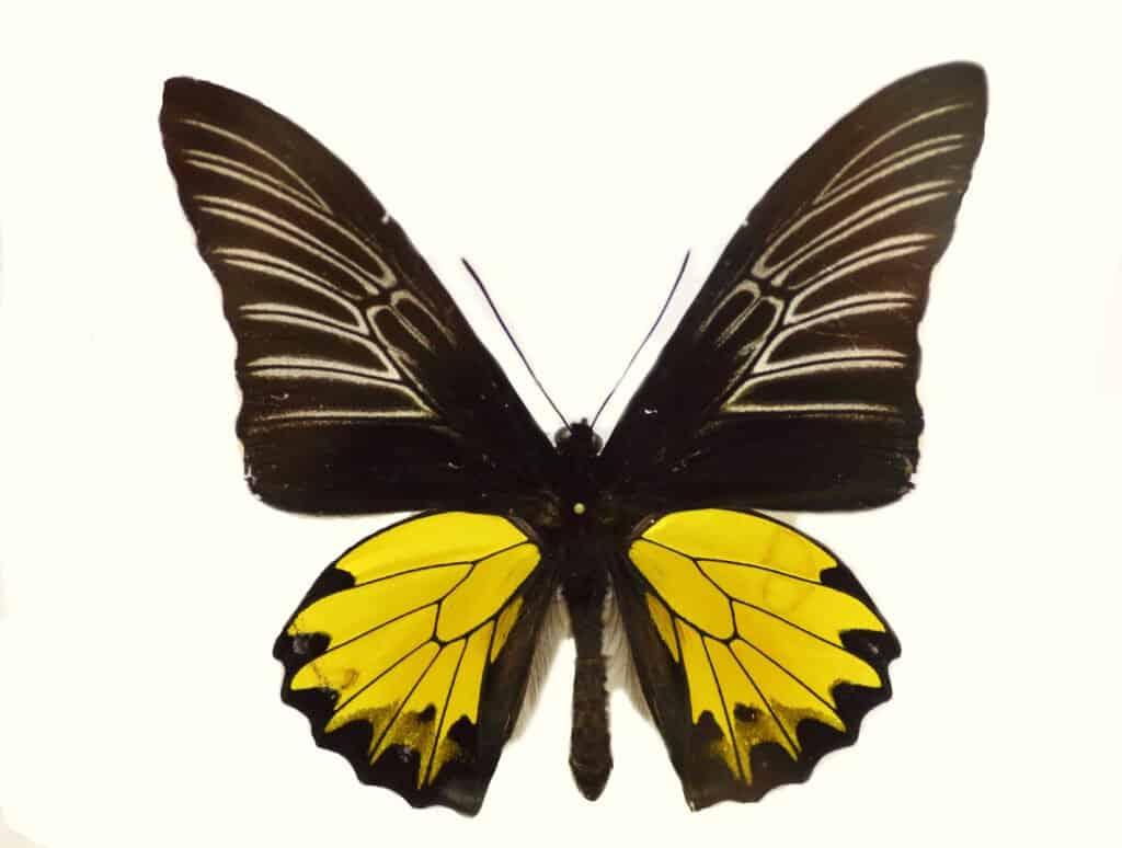 Buru Opalescent Birdwing