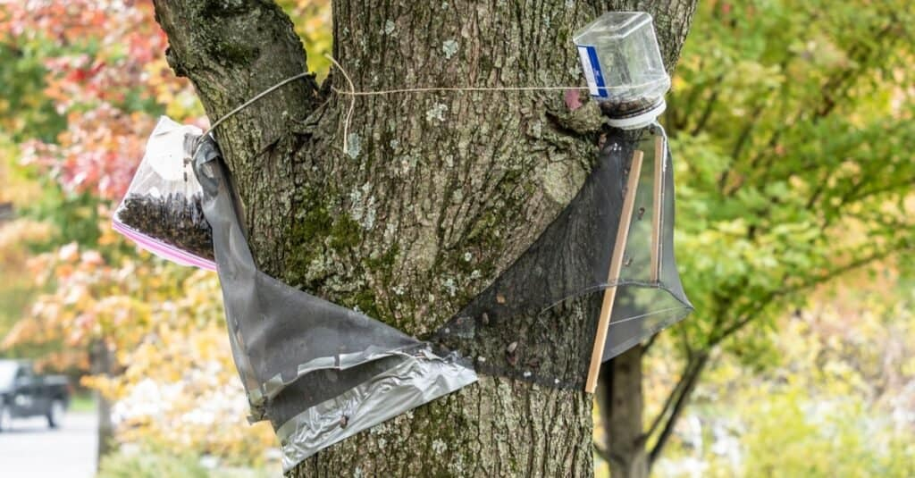 How to Build a Spotted Lanternfly Trap
