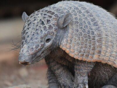 A Are Armadillos Mammals?