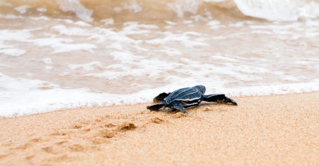Baby Leatherback Turtle Going to the Surf