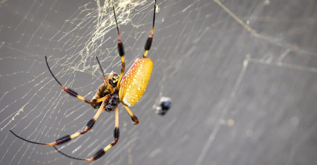 Banana Spider in Web