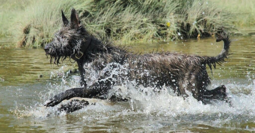 Berger Picard playing in the river.