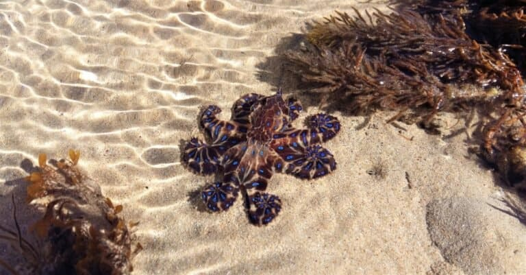 Vivid blue-ringed octopus with curled tentacles, enjoying the sun on a summer day as it sits in a shallow tide pool at Point Lonsdale