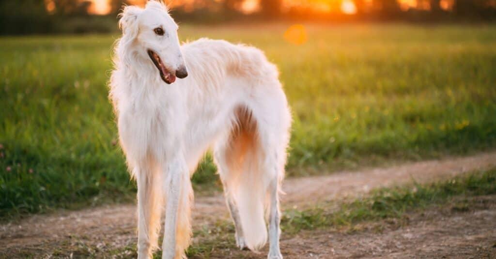 Tallest Dogs: Borzoi
