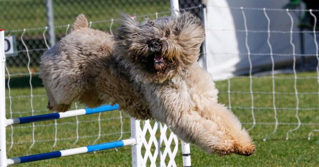 Bouvier des Flanders dog on the agility course going over a jump.