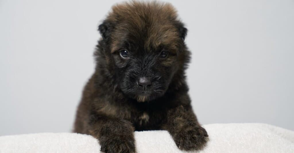 Very cute 4-week old Bouvier Des Flandres puppy with a brindle coat.