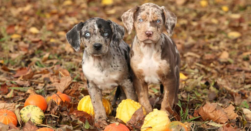Catahoula leopard puppies in fall leaves