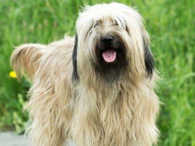 A Catalan Sheepdog