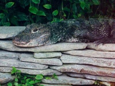 A Aliigator sinensis
