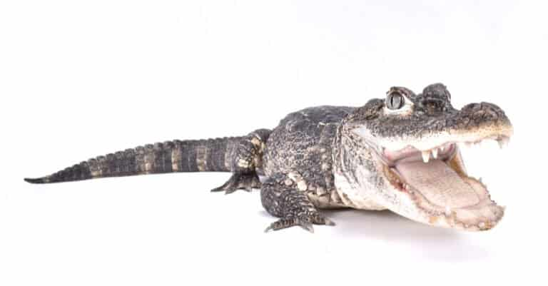 Chinese alligator isolated with mouth open