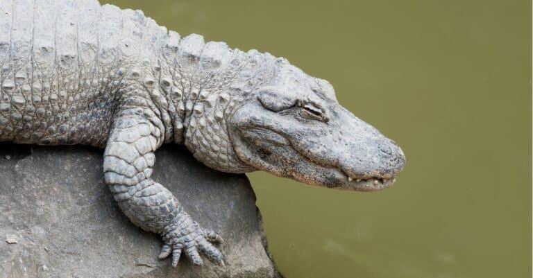 Chinese alligator side profile