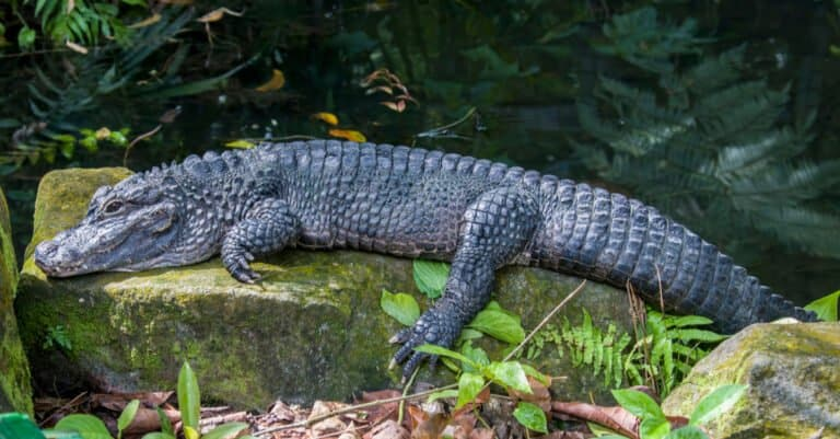 Chinese alligator with its entire body on a rock