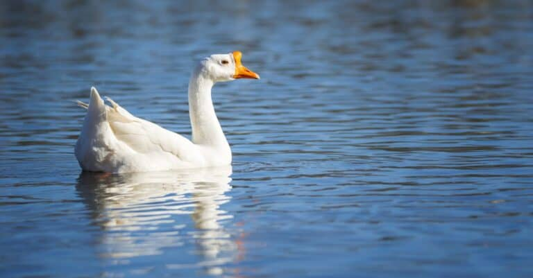 Chinese goose relaxing in the water