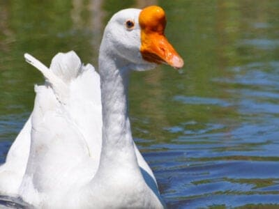 A Chinese Geese
