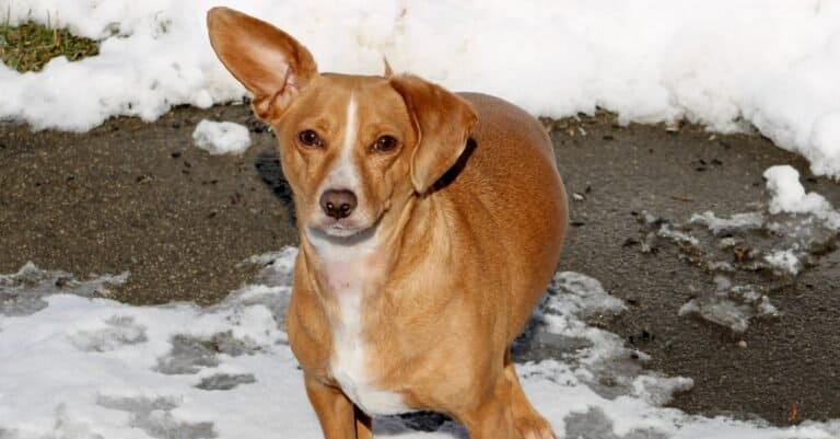 A Chiweenie (chihuahua dachshund mixed breed dog) playing in the snow.