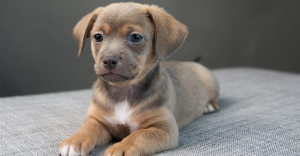 Tiny Chiweenie puppy lying on a gray sofa.