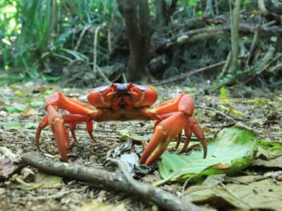 A Christmas Island Red Crab