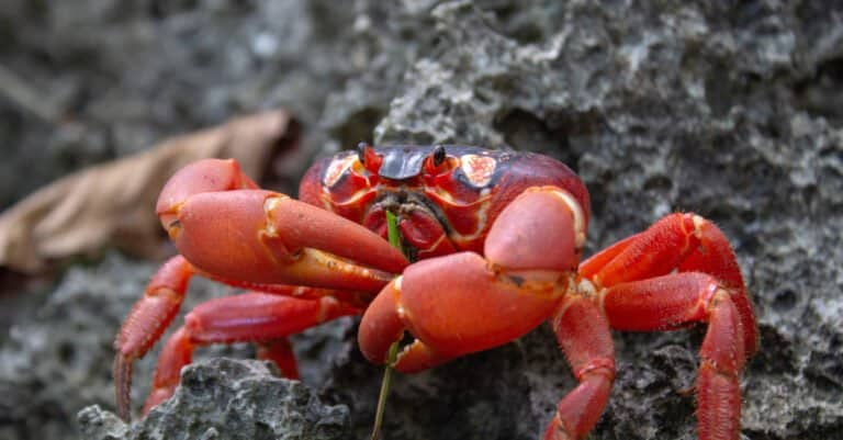 close up of Christmas Island red crab