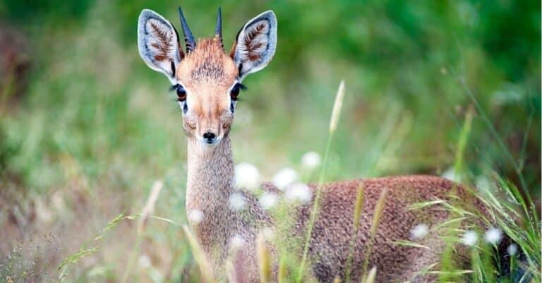 A Dik-Dik standing alert in the grass of Samburu National Reserve in Kenya, Africa.