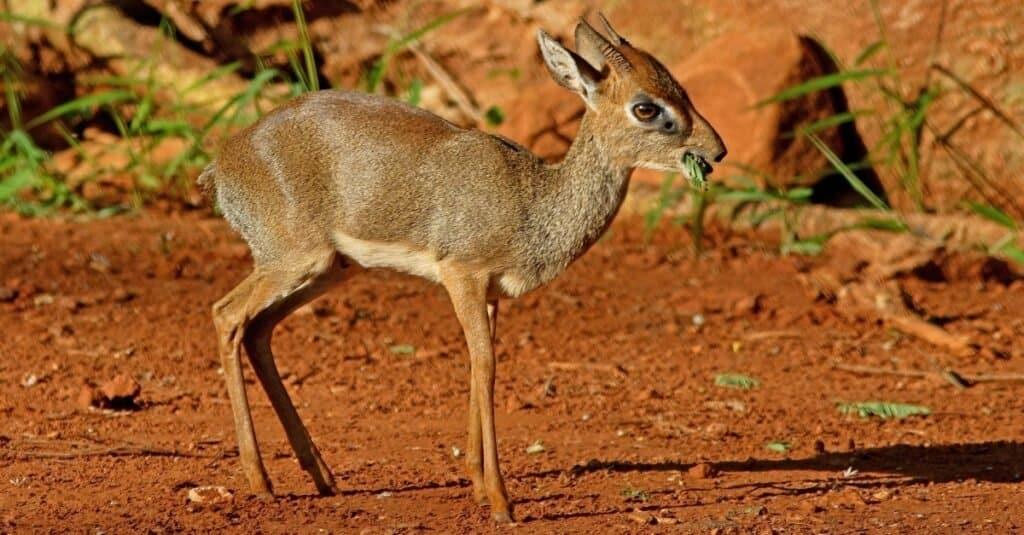 "Kirk's Dik-dik (Madoqua kirkii) adult male eating ""n""nTsavo in Kenya."
