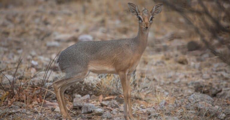 The smallest antelope Dik-dik in Damaraland of Namibia, Southern Africa.