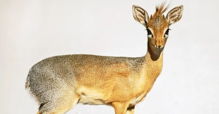 Dik-dik isolated on a white background.