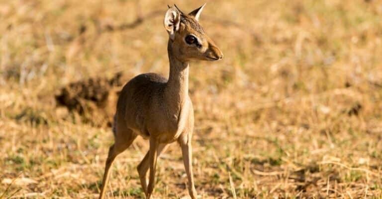 Günther's dik-dik (Madoqua guentheri), Samburu National Reserve, Kenya