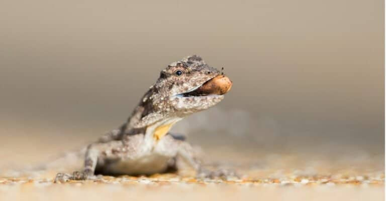A rare moment for a delicate gliding lizard, Draco volans, as it forages for food at ground level.