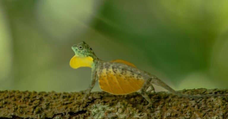 Draco volans, the common flying dragon on the tree in Tangkoko National Park, Sulawesi, is a species of lizard endemic to Southeast Asia