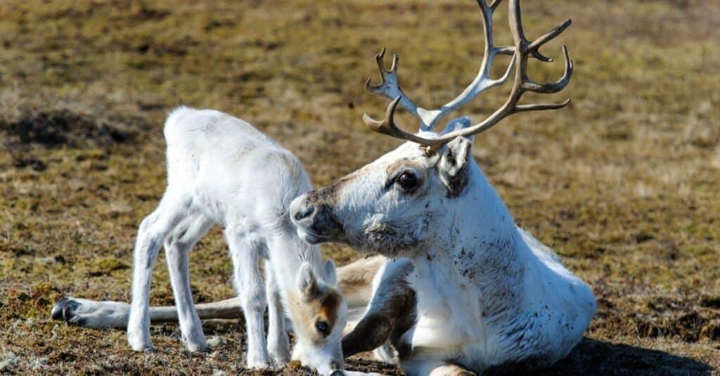 Female Reindeer Have Antlers