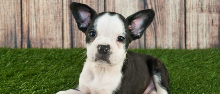 Frenchton puppy in grass