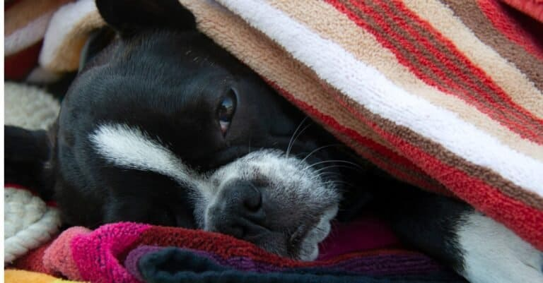 Frenchton wrapped in blanket
