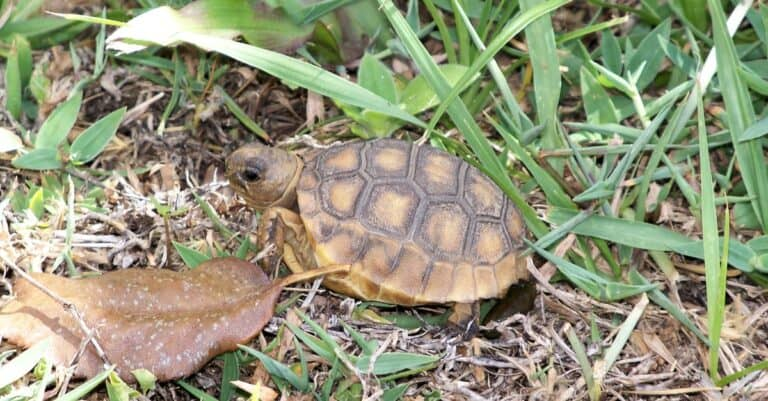 A young gopher tortoise slowly makes its way through the grass.