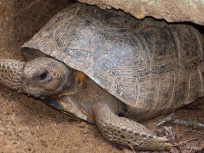 A Gopher Tortoise