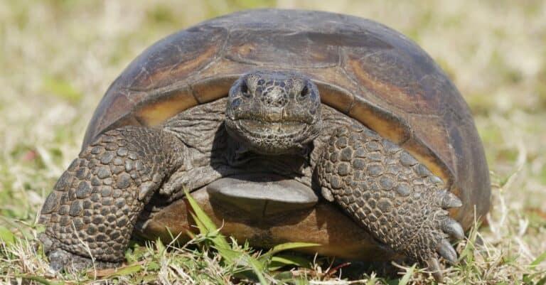 A curious endangered Gopher Tortoise (Gopherus polyphemus) walks on the grass in Florida.