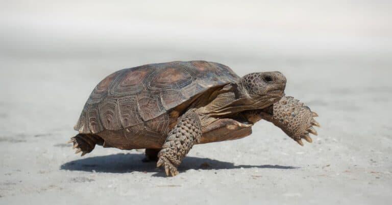 Gopher tortoise (Gopherus polyphemus) walking in the road.