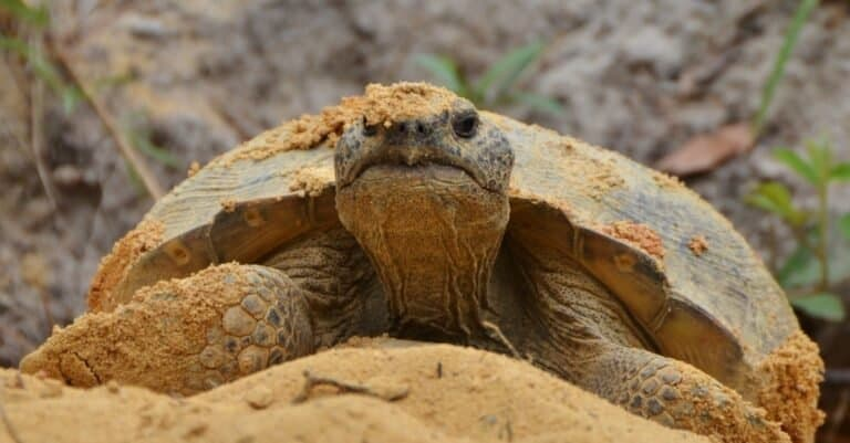 A gopher tortoise (Gopherus polyphemus) emerges from its burro. The gopher tortoise is an endangered species found in the southern United States.