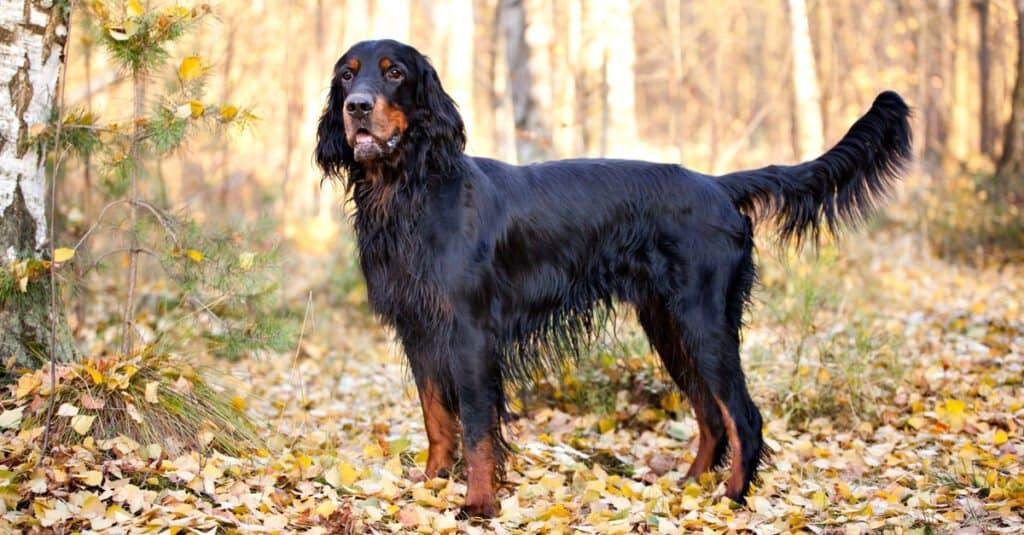 Gordon Setter in Autumn Leaves