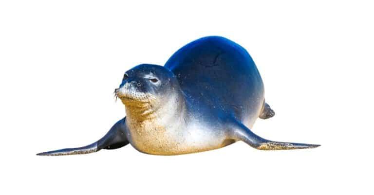 isolated Hawaiian monk seal
