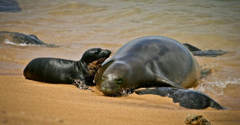 Hawaiian monk seal mom with her pup
