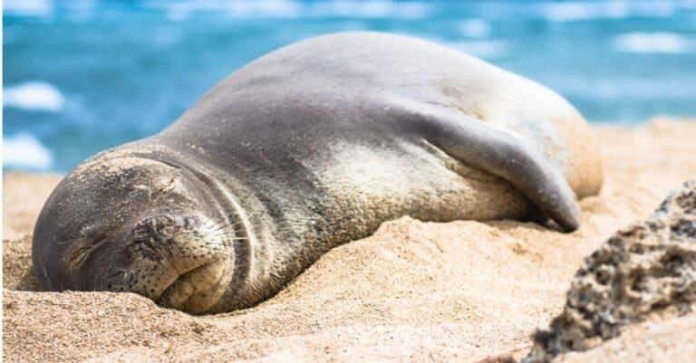 Hawaiian monk seal sleeping on the beach