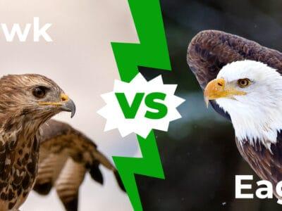 A Hawk vs Eagle: 6 Key Differences Explained